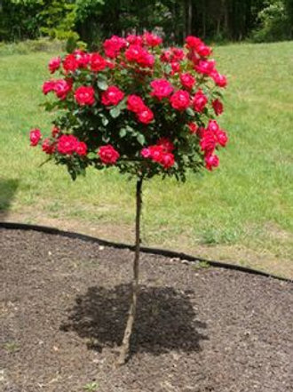 Rose Tree, Knock Out (Double Red)