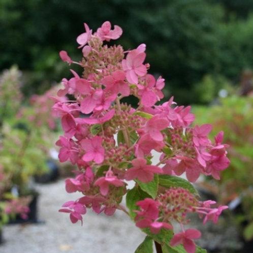 Hydrangea, Pinky Winky