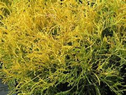 Cypress, Gold Thread