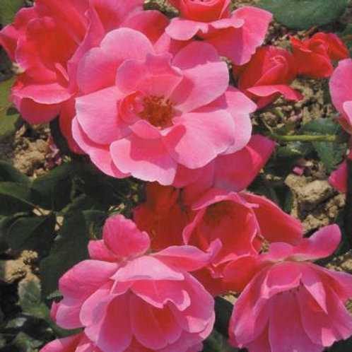 Rose, Pink Knock Out