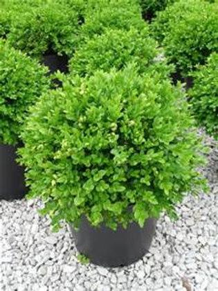 Boxwood, Green Velvet