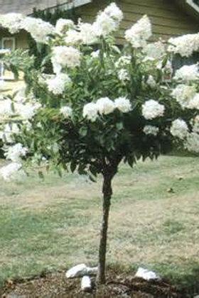 Hydrangea Tree, Pee Gee