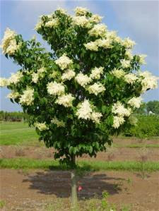 Lilac Tree Ivory Silk Plant Center