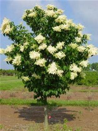 Lilac tree, Ivory Silk