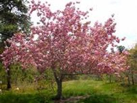 Cherry, Kwanzan