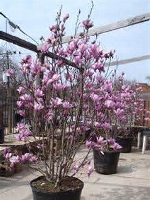 Magnolia, Jane