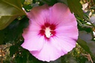 Althea - Rose of Sharon Pink