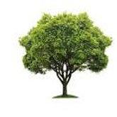 Fringe Tree Clump