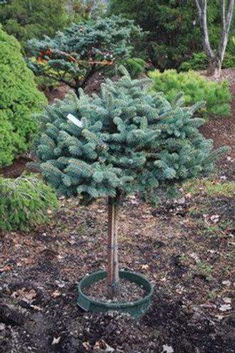Spruce, Globosa (on standard)
