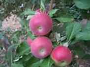 Apple, Johnathan
