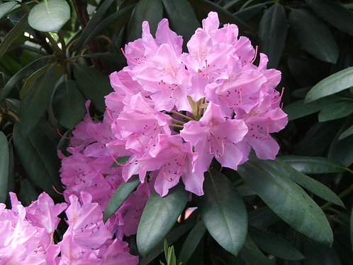 Rhododendron, Catawbiense