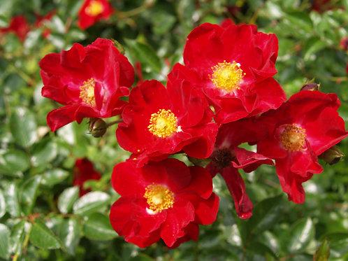 Rose, Carpet
