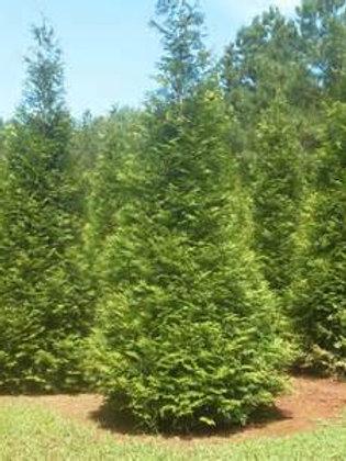 Arborvitae, Green Giant