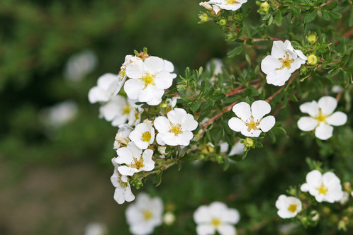 Potentilla mckays white small shrub with white white flowers yellow center that blossoms all summer long full sun 2 tall x 2 3 width in 10 years zones 2 7 mightylinksfo