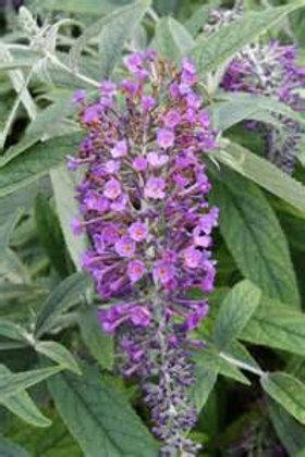 Butterfly Bush, Purple Haze