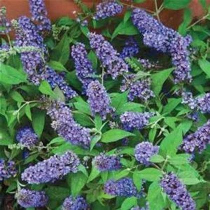 Butterfly Bush, Blue Chip