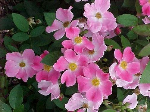 Rose, Nearly Wild