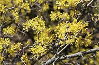 Dogwood, Cornelian Cherry
