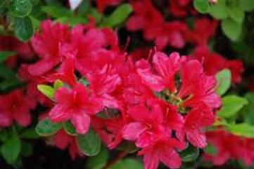 Azalea, Hino-Crimson