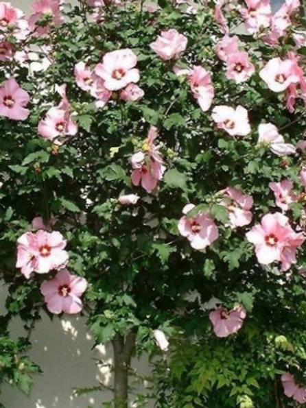 Althea Tree - Pink