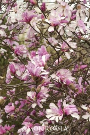 Magnolia, Leonard Messel