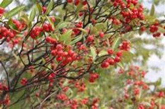 Chokeberry, Red