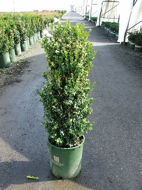 Boxwood, Green Tower