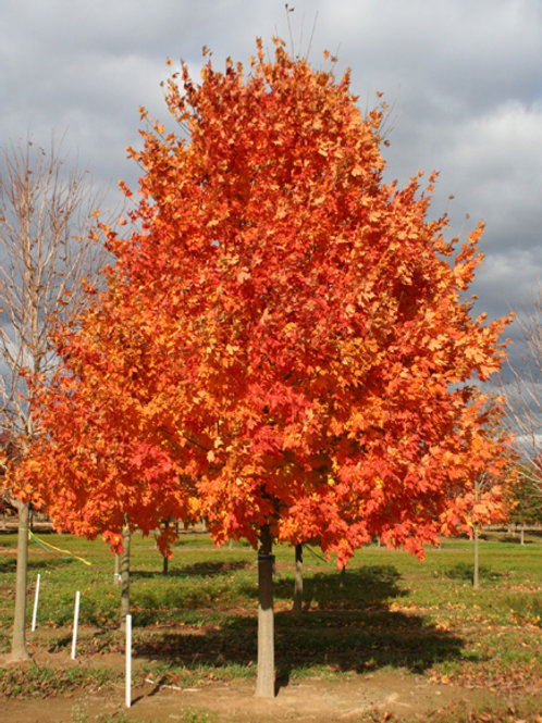 Maple, Commemoration