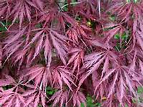 Japanese Maple, Inabe Shidare