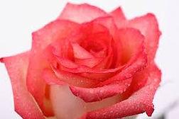 soin des roses