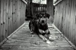 Doberman-Boxer Dog