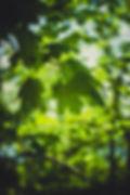 green-lobed-leaves-on-branch-61098.jpg