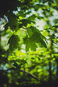 green-lobed-leaves-on-branch-61098.jpg