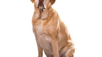 Today's Veterinary Practice |  Canine Pituitary Dependent Hyperadrenocorticism Series Part 1: Compar