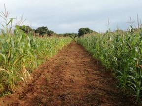Maize field path