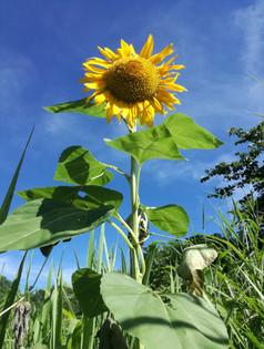 Wild sunflower