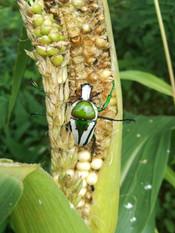 Beetle on a cob