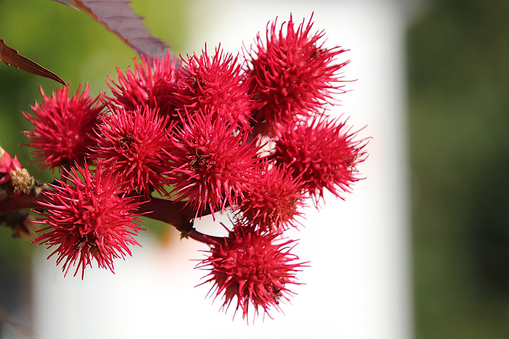 red spikey pods of the castor plant