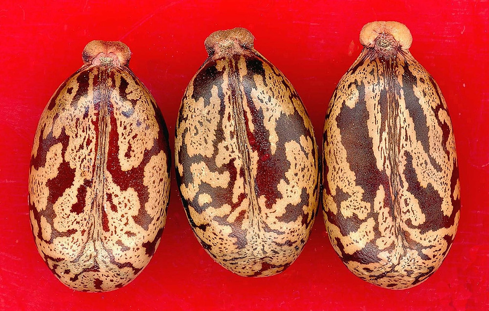 three castor beans on a red background
