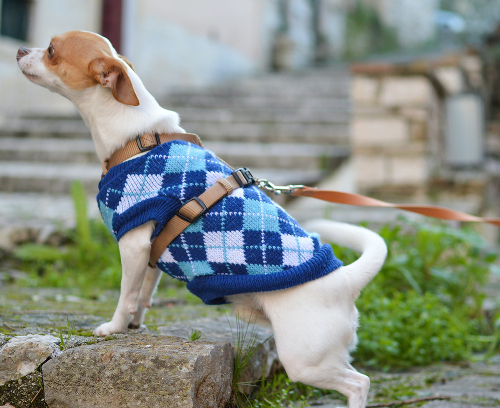 dog jacket argyle print pattern blue fashion style blog