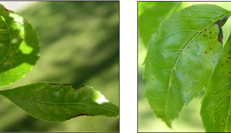 Ash Anthracnose is on the Loose