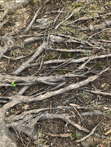 Severe Case of Girdling Roots