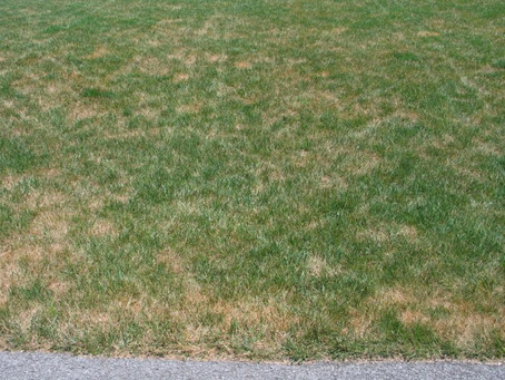 Your Fescue Is Thinning...This Is Why