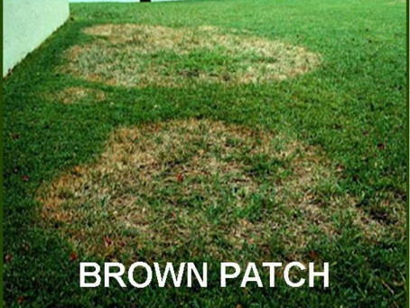 Turf Fungus - Brown Patch