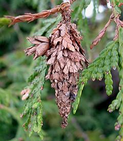 Bagworm - Evergreen's Worst Nightmare