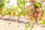 grappoli d'uva bianca