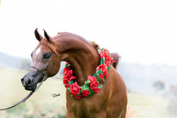 Arabian Horse Photography and Video