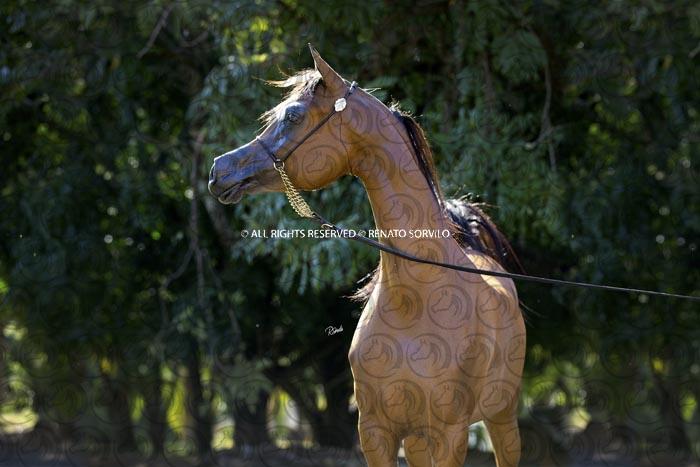 Sorvilo_Dominus_Arabco_DB6U6164