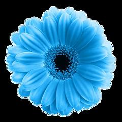 34240514-blu-gerbera-fiore-isolato-su-sf