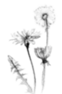 kisspng-common-dandelion-drawing-botanic